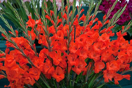 kak-uxazhivat-za-gladiolusami