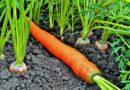 Как выращивать морковь, уход и сбор урожая
