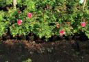 Как посадить розу правильно